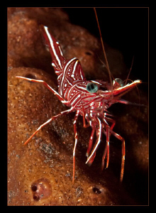 Hinge Beak Shrimp by Charles Wright 